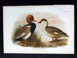 Baker & Gronvold Indian Ducks 1908 Antique Bird Print. Red-Crested Pochard